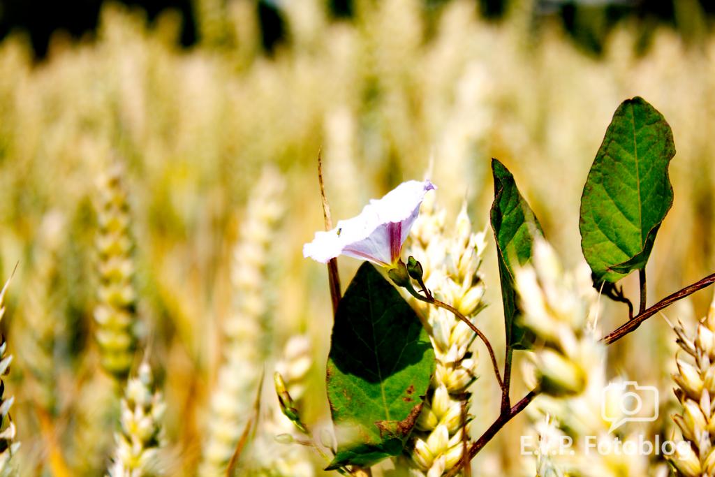 Getreide-Juni-2012-001.png