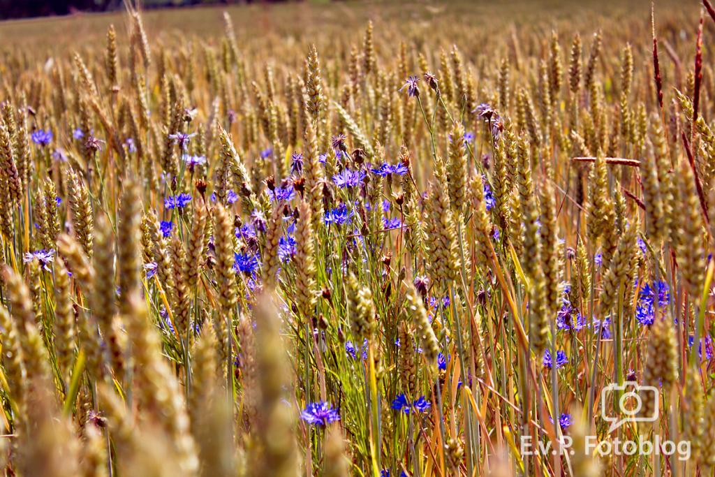 Getreide-Juni-2012-002.png