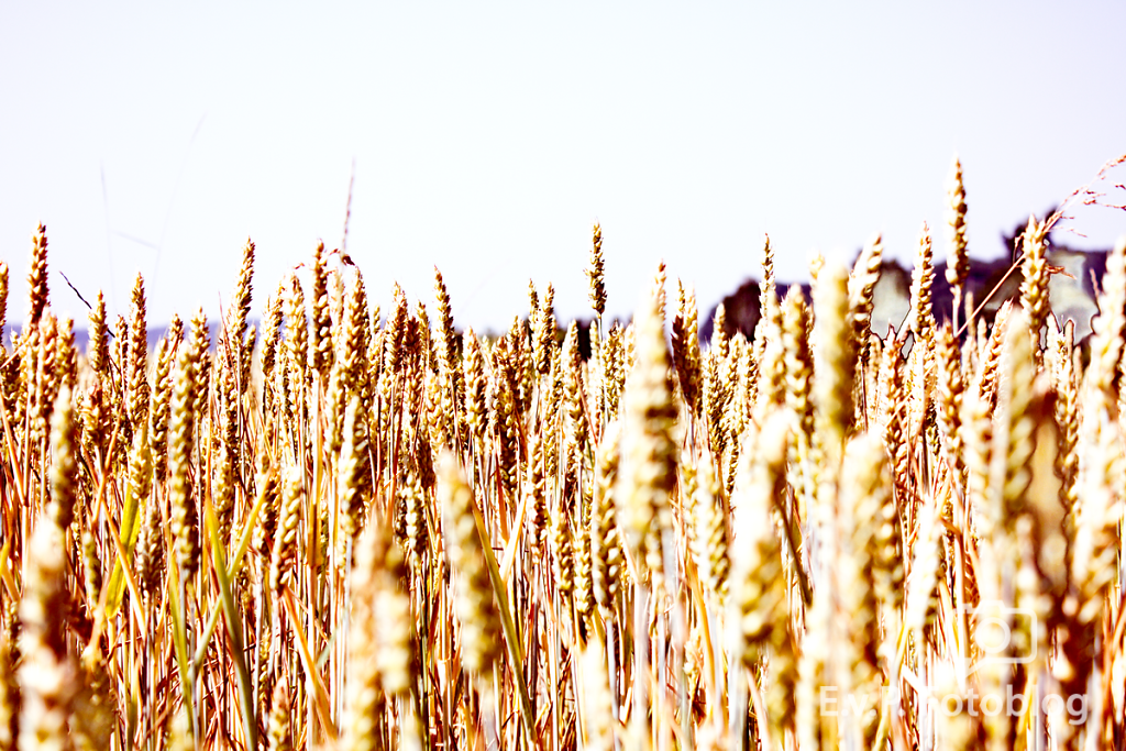 Getreide-Juni-2012-003.png