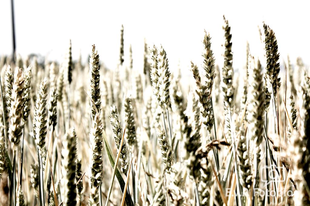 Getreide-Juni-2012-005.png