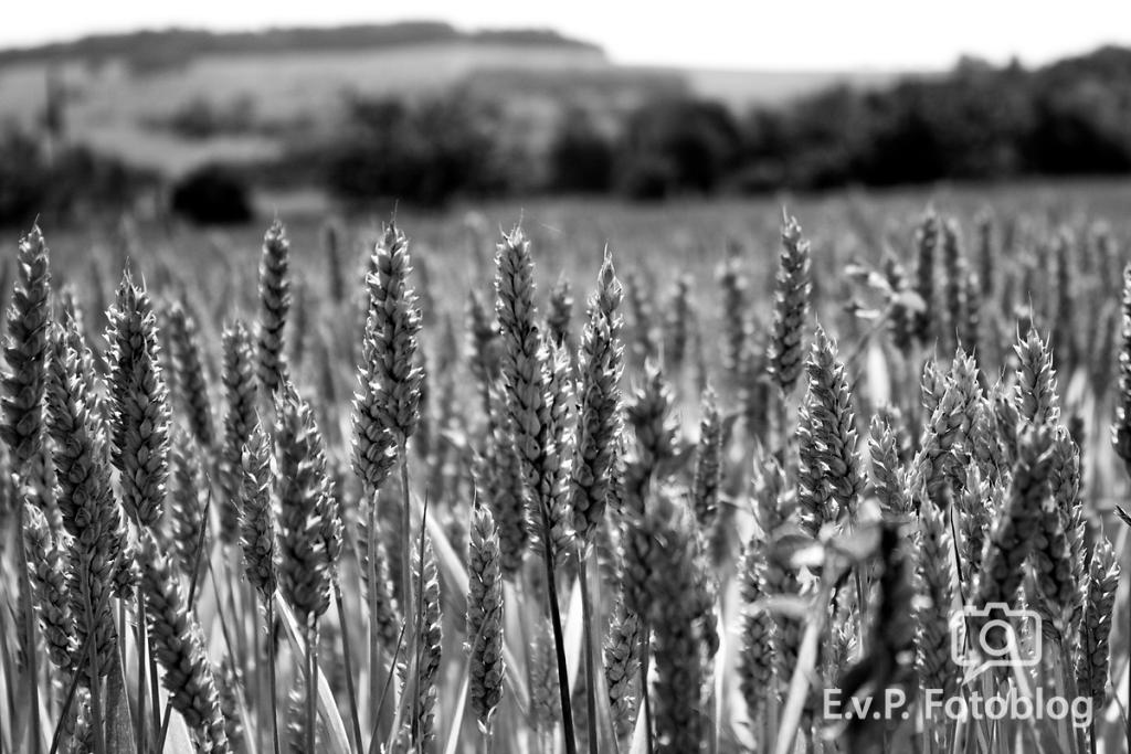 Getreide-Juni-2012-016.png